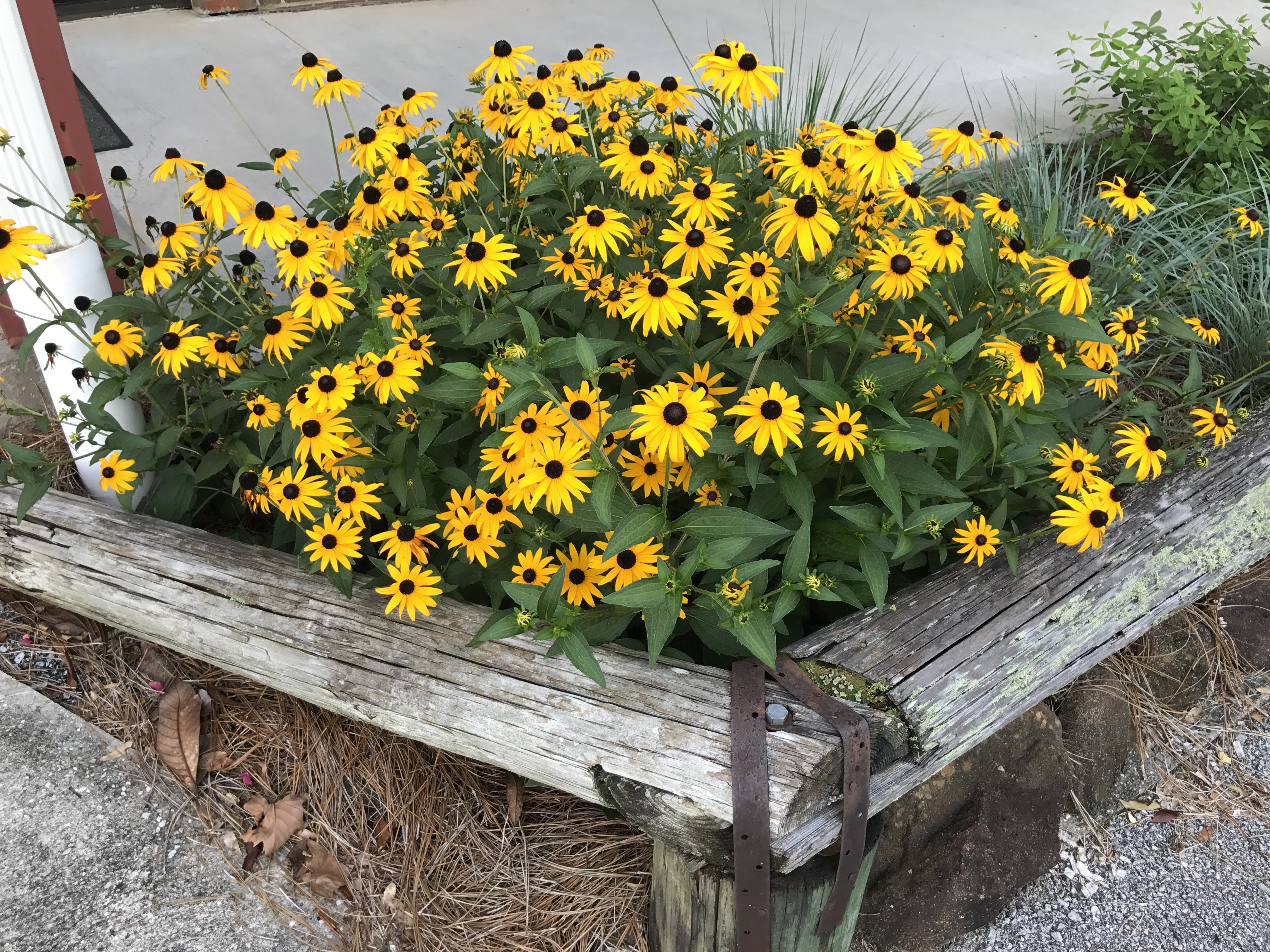 Four Must Have Native Perennials For Summer Ufifas Extension