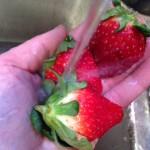 washing berries