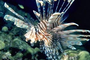 Red Lionfish  Photo: Florida Sea Grant