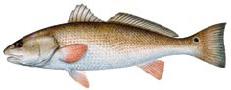 Red Drum - photo credit Florida Fish and Wildlife