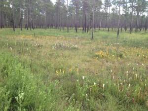 Pitcher plant bog