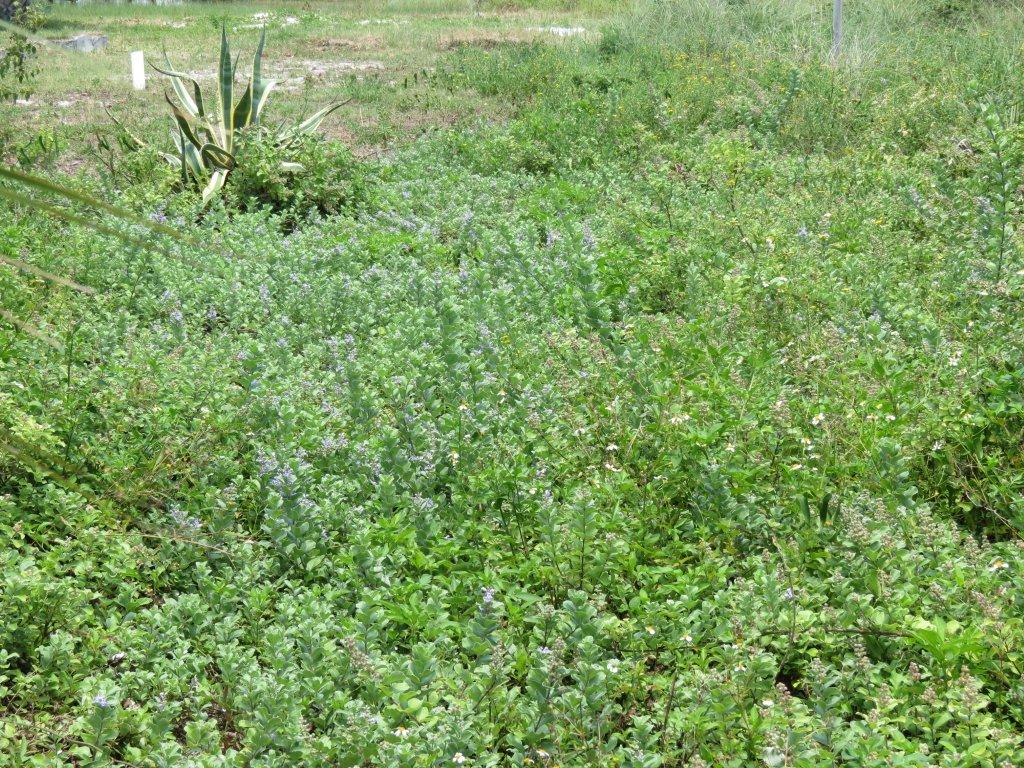 This yard on Pensacola Beach has become over run by vitex.
