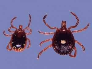 Lone Star Ticks carry Southern Tick Associated Rash Illness.