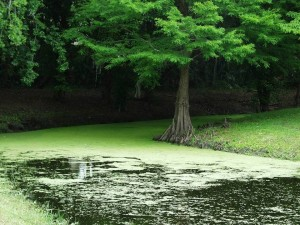 A body of water receiving excess nutrients can turn green and unhealthy from too much algae growth. Photo Credit: UF IFAS FFL program