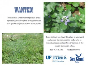 Click Image to Download Wanted Poster. Please circulate to area residents to provide visual identification of Beach Vitex. Contact your Extension Office for control options and help reduce it's impact on native species.