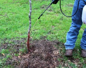With the basal treatment, cover the bottom 12 to 18 inches of the tree with the herbicide oil mixture. Be sure to cover the entire circumference of the tree.