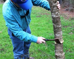 The hack and squirt treatment is best for large and/or thick barked trees.