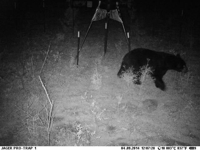 Florida Black Bear visiting an easy food source.