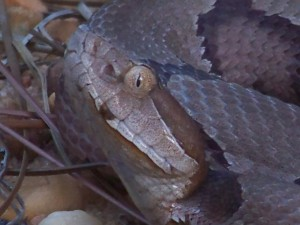 This copperhead shows the elliptical pupil and pit commonly found in Florida's pit vipers.  Photo: Molly O'Connor