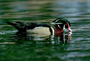 A brightly colored male wood duck. Photo: USFWS National Digital Library