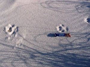 These unidentified canine tracks are probably of a dog; though coyotes are on our islands