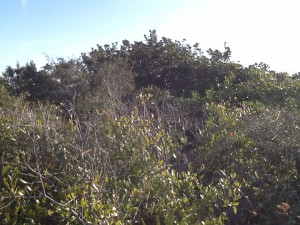 Tertiary dunes support trees such as this magnolia and yaupon holly.