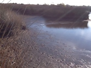 The muck of a salt marsh.  This rich organic mud is very loose and the hiker can quickly sink!  Notice the tracks of a predator.