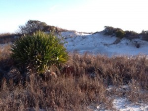 This secondary dune supports a saw palmetto.  Many forms of wildlife depending on these shrub areas.