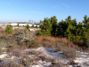 Small secondary dune with small pine trees.