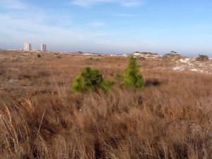 Small pines on the edge of a swale.  Photo: Rick O'Connor