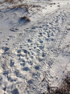 Tracks of an ATV moving across a dune face near the sound side of the island.