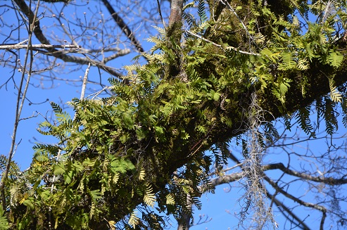 Resurrection ferns are found in many mature hardwood trees in north Florida.  This fern is an air plant which prospers on skimpy amounts of water and plant nutrients.