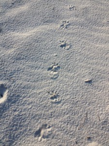 The spread toes of the opossum make identifying this track easier.