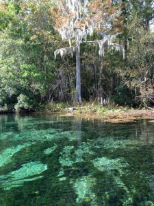 The crystal clear springs of Wakulla are filled with alligators and manatees. Photo credit: Carrie Stevenson