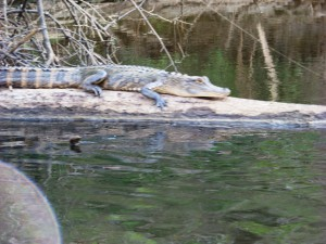 Alligator basking on the Escambia River; photo: Molly O'Connnor
