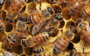 European Honey Bees  Photo: Ashley N. Mortensen; University of Florida