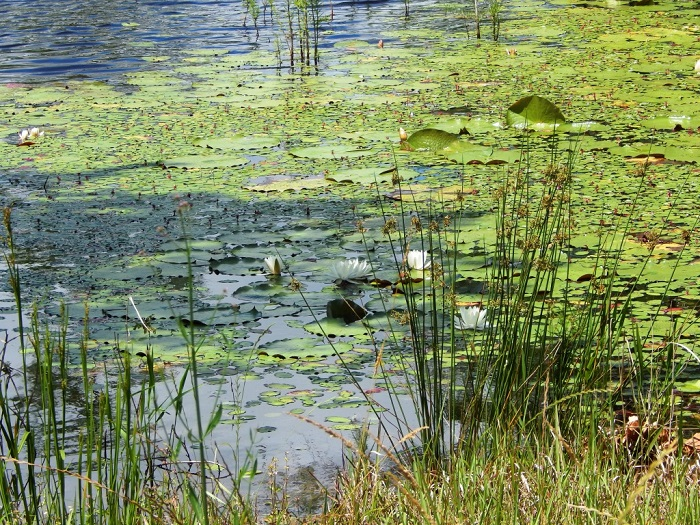 Monitor your ponds closely throughout the spring and make any necessary herbicide applications before weed growth becomes too excessive.  Photo Credit: Mark Mauldin