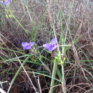 One of the few plants blooming in April, the Spiderwort is a common weed in many lawns.  Photo: Rick O'Connor