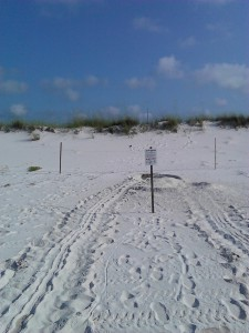 Tracks left by a nesting Green Sea Turtle.  Courtesy of Gulf Islands National Seashore.