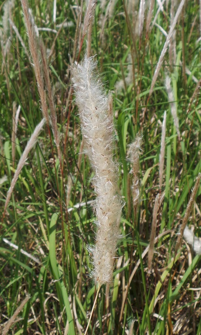 Cogongrass seedhead close-up. While cogongrass speads primarily by rhizomes the seedheads can make new infestations easier to find. Photo Credit: Mark Mauldin