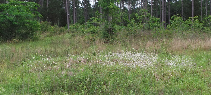 A relatively new patch of cogongrass recently found in Washington County. Photo Credit: Mark Mauldin