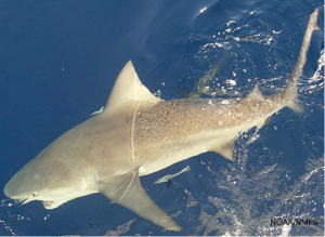 Bull shark (Carcharhinus leucas). Gulf of Mexico. Credit: SEFSC Pascagoula Laboratory; Collection of Brandi Noble, NOAA/NMFS/SEFSC.