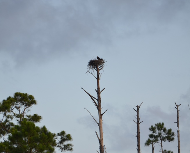 Osprey nesting sites are commonly near water, and their food source. Photo by Les Harrison.