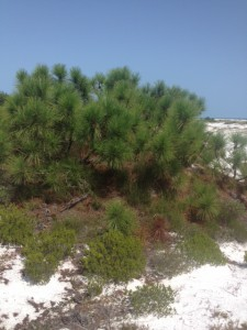 Though it appears small, this is the same species of pine that grows tall inland.
