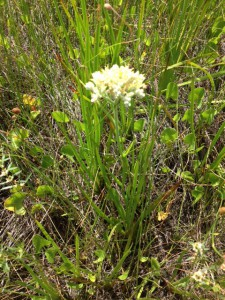 This plant, Redroot, grows in the wetter areas of the secondary dune.
