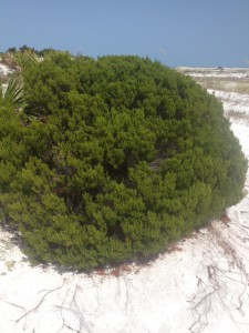Seaside Rosemary