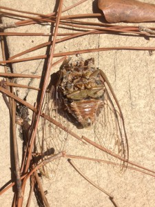 The adult body of a local cicada.