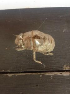 The empty molt of a cicada nymph.