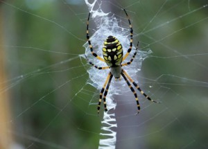 The zig-zag pattern of the Black and Yellow Argiope spider helps to distinguish from the Golden Orb.  Photo: Molly O'Connor