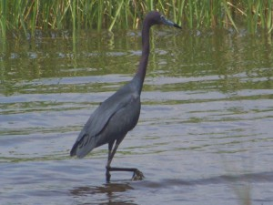 A heron exploring a local salt marsh for food. Photo: Molly O'Connor