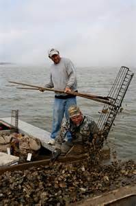 An oysterman uses his 11 foot long tongs to collect oysters from the bottom of Apalachicola Bay Photo: Sea Grant