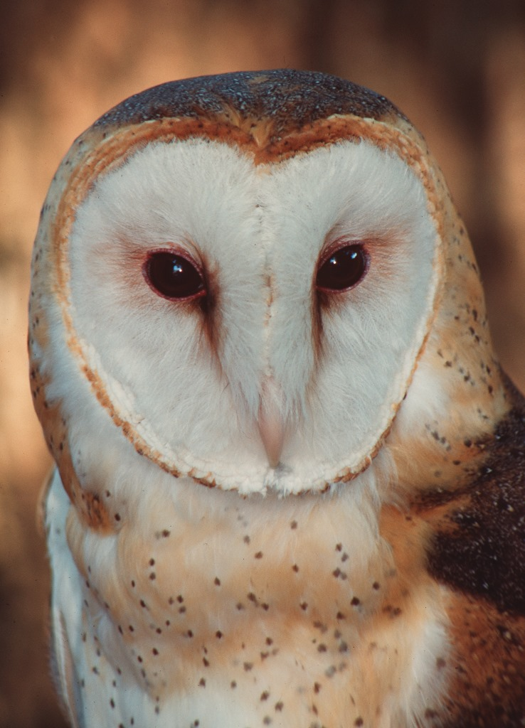 Closeup of a barn owl. Compliments UF/IFAS File Photo