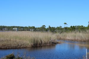Black Needlerush is one of the species of marsh grasses that live in brackish conditions.