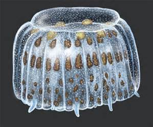 "Illustration of the ""thimble jellyfish"". Graphic: University of Michigan"