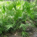saw-palmetto-palm-tree-picture