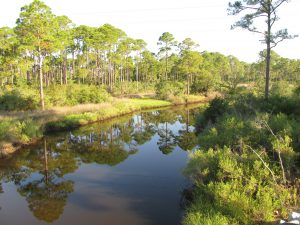 Coastal slash pine forest is vulnerable to sea level rise. Photo credit: Erik Lovestrand, UF IFAS