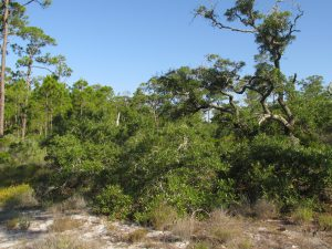 Migrating songbirds forage for insects in coastal scrub-shrub habitat. Photo credit: Erik Lovestrand, UF IFAS