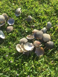 A pile of cleaned scallops found in a parking lot on Pensacola Bay.  Harvesting scallop in Pensacola Bay is illegal.   Photo: Rick O'Connor