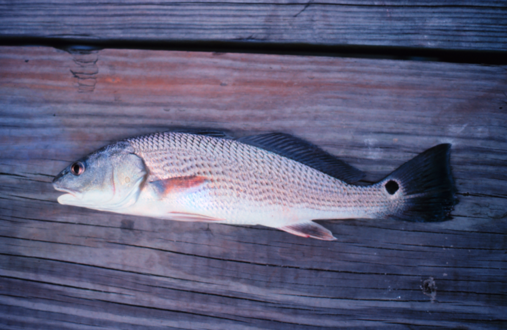 Red Drum are easily identified by their false eyespot located on the tail. Often, the tail and false eyespot break the water surface when red drum feed in shallow water. Shrimp and crabs are favorite food items of hungry red drum. Photo courtesy of NOAA. http://www.photolib.noaa.gov