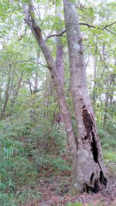 Beech, magnolia and native river cane (arundinaria) characterize hardwood forests in the Red Hills Photo by Jed Dillard